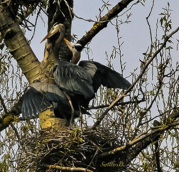 blue herons-Sauvie Island-tree-SwittersB