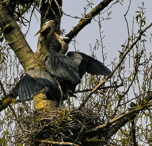 blue herons-Sauvie Island-tree-SwittersB