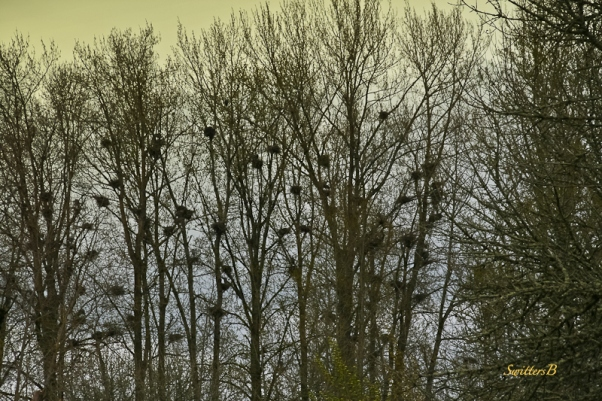Eagles Nests-Trees-Sauvie Island-SwittersB