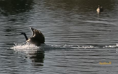 Goose Landing-Pond-SwittersB