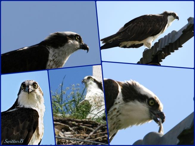 Hawk-Perch-Roost-Nest-SwittersB