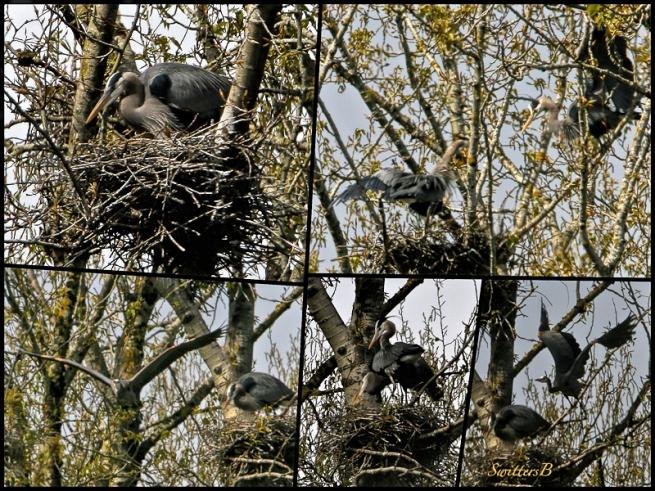 Herons on Nest-Sauvie Island-SwittersB