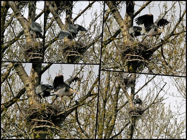 Herons on Nests-Trees-Sauvie Island-SwittersB