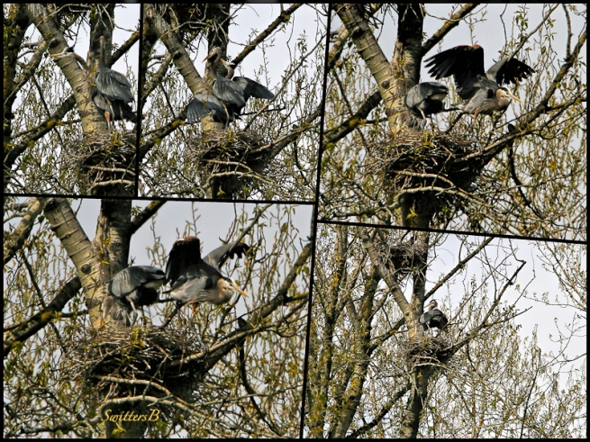 Herons on Nests-Trees-Sauvie Island-SwittersB