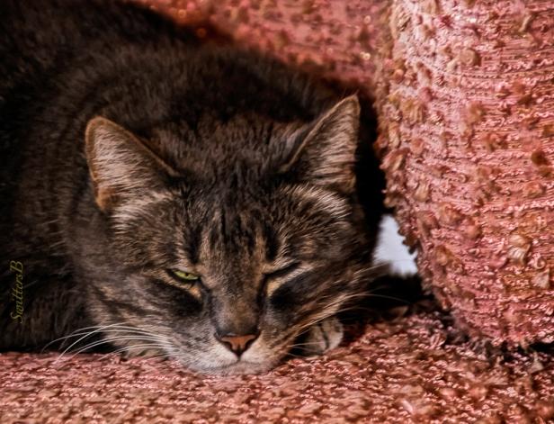 Penny-One eye open-Pet-Tabby-SwittersB