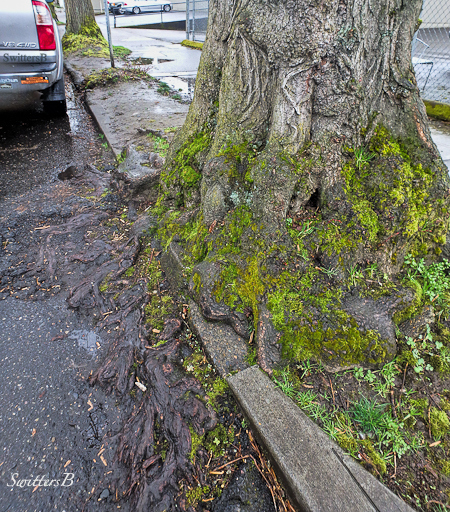 roots, tree, Portland, curb, SwittersB