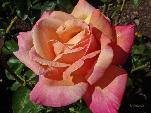 garden rose-Portland-backyard-SwittersB
