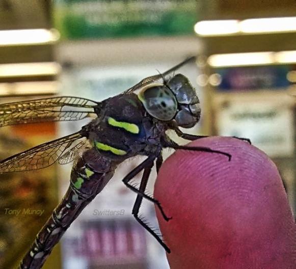 Tony Muncy-Dragon Fly-Fingertip-SwittersB