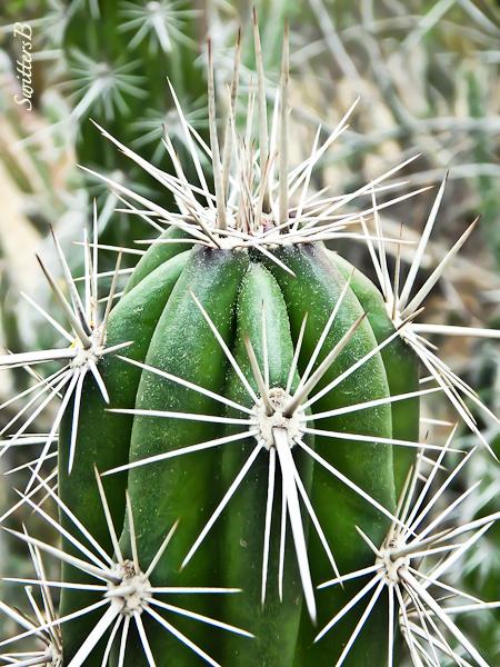 cactus, thorns, desert, SwittersB