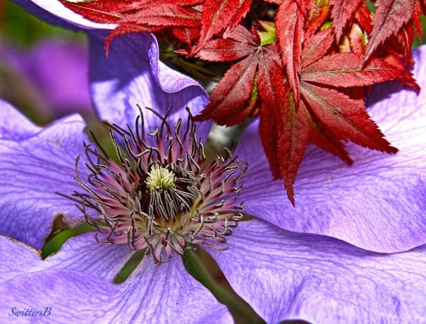 clematis bloom, Japanese Maple-tree-SwittersB
