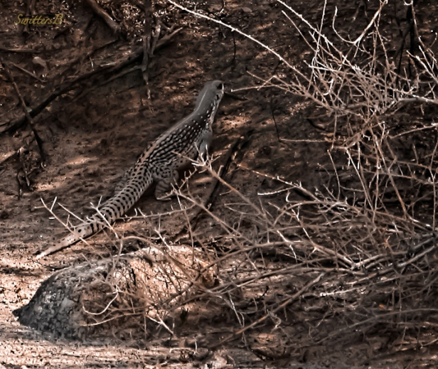 Desert Iquana-Lizard-Willis Oasis-SwittersB
