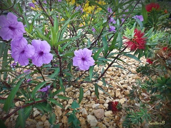 desert-mojave-wildflowers-blooms-SwittersB