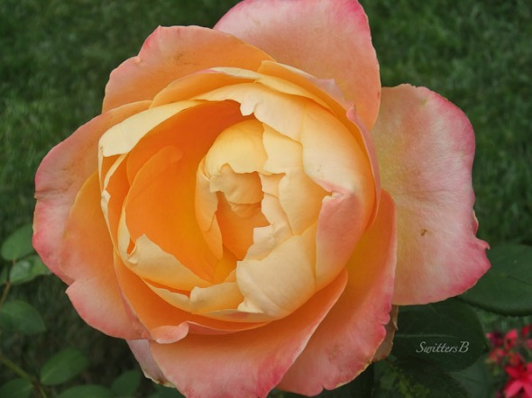 peach rose, garden, Portland, SwittersB