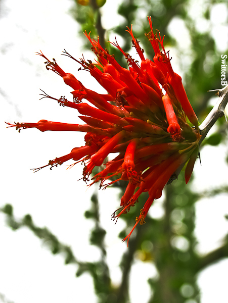 red flower-cactus-overhead-SwittersB