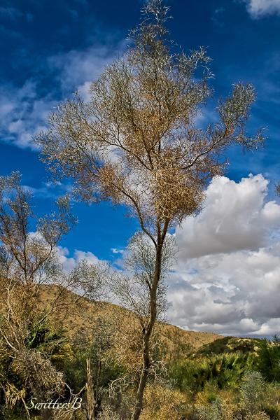 smoketree-desert-Coachella Preserve-SwittersB
