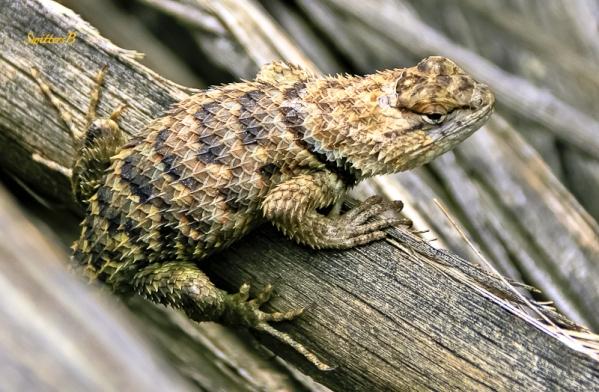 spiny lizard-desert-mojave-SwittersB