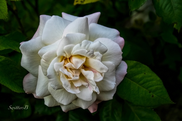 white rose-backyard-garden-SwittersB