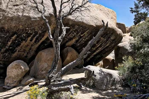 boulder-snag-yellow flowers-Mojave-SwittersB