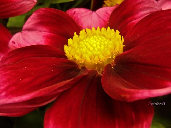 Dahlia-bloom-SwittersB