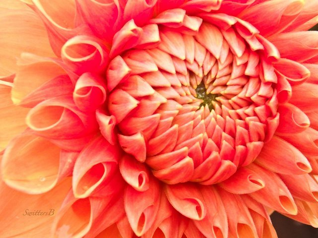 Dahlia, bloom, Oregon, SwittersB