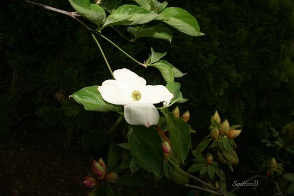 Dogwood & Rhody-afternoon-April 20-SwittersB