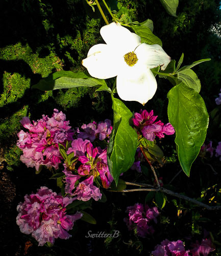 dogwood bloom, rhody blooms, morning light, SwittersB