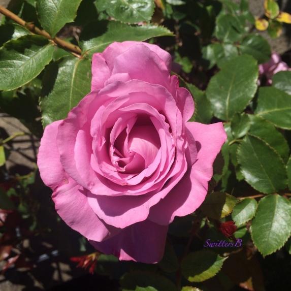 lavender rose-front yard-Portland-SwittersB