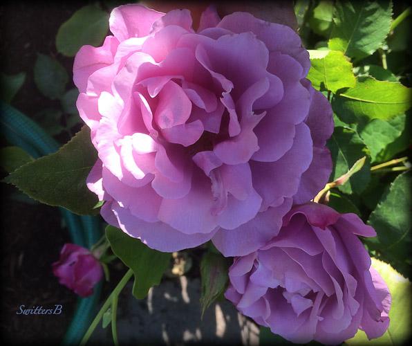 lavender rose-light-SwittersB-3
