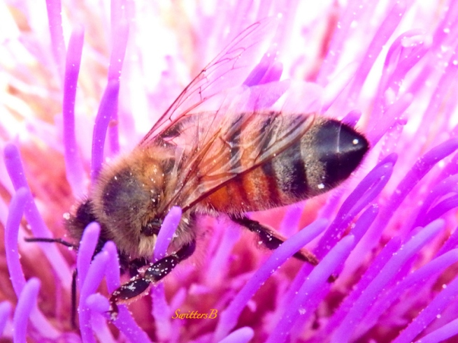 honey bee-artichoke flower-SwittersB
