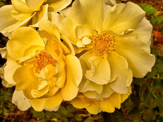old rose-garden-SwittersB-Portland