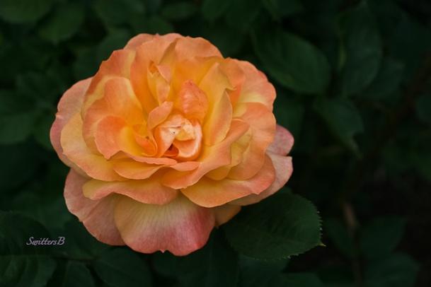 Pop the Cork-Rose-Garden-SwittersB-2