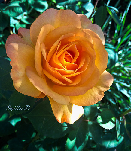 rose-beauty-hidden-morning-SwittersB