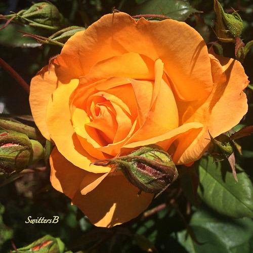 rose-bloom-buds-swittersb-portland