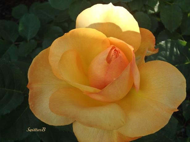 rose-sunrise-Portland-SwittersB