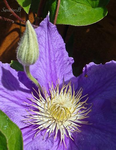 clematis-flower-bud-garden-SwittersB