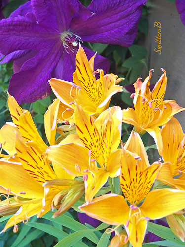 purple clematis, yellow flower, backyard garden, SwittersB