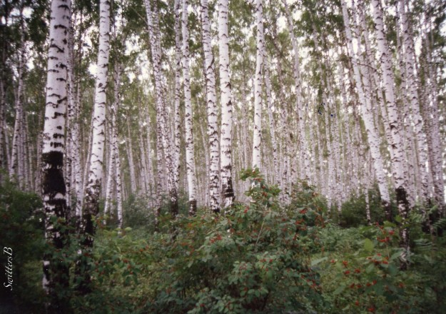Moskva River-Moscow-birch trees-SwittersB