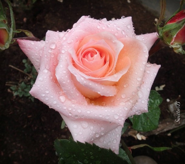 pink rose-raindrops-SwittersB