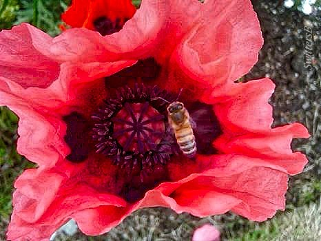 Poppy-Honey Bee-SwittersB