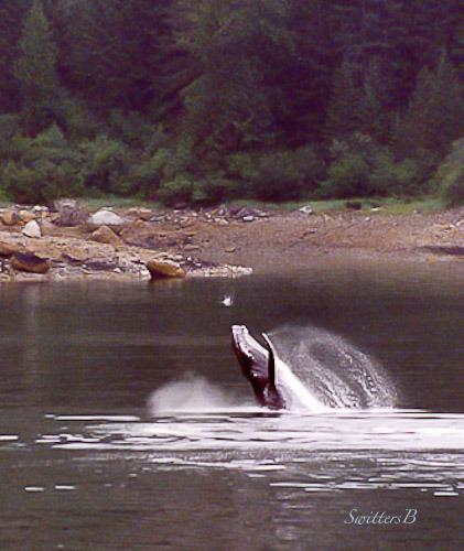 whale jumping-Alaska-SwittersB