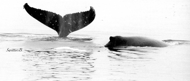 whale tail-Alaska-SwittersB