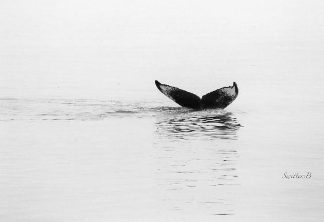 whale tail-Alaska-water-SwittersB