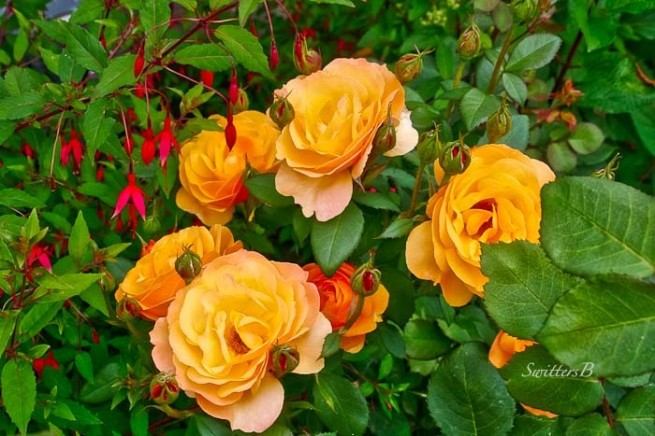 Yellow roses-fucshia-SwittersB