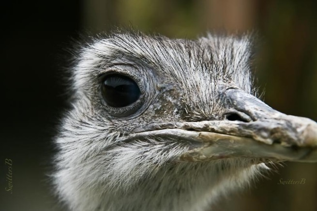 emu-bird-eye-closeup-SwittersB