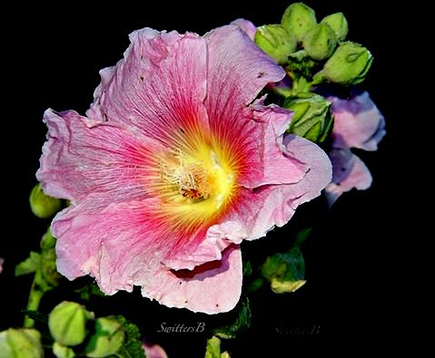 hollyhocks-garden-memories-SwittersB