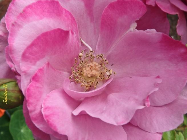 roses-stamens-SwittersB