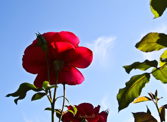 red rose-petals-skyward-SwittersB