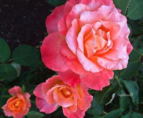 roses-backyard garden-SwittersB