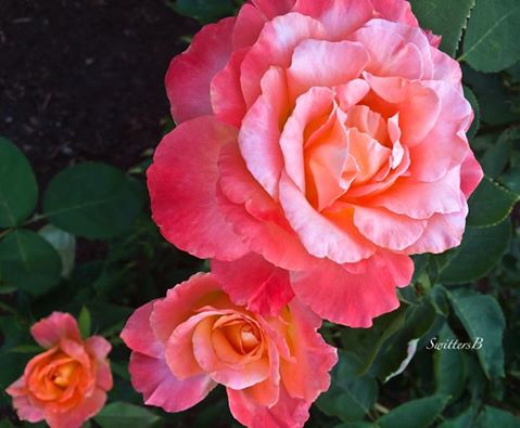 roses-backyard garden-SwittersB