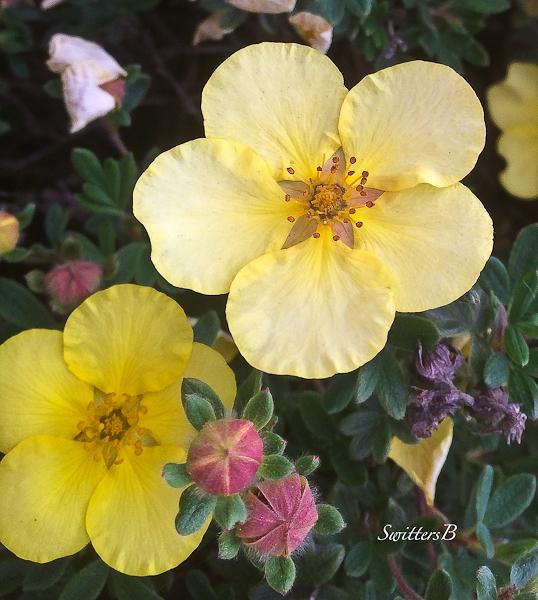 yellow flowers-backyard-SwittersB